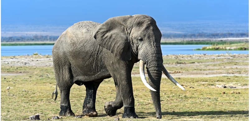 Elephant On Field