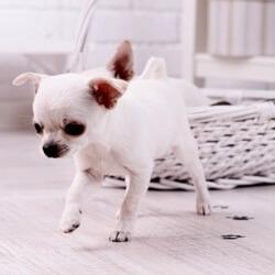 Chihuahua Leaving Muddy Paw Prints
