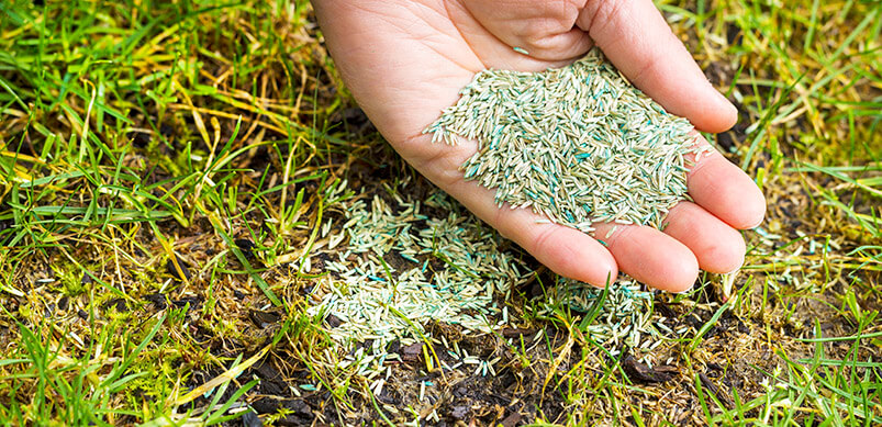 Grass Seed In Hand And On Lawn