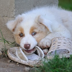 Puppy Chewing On Slipper