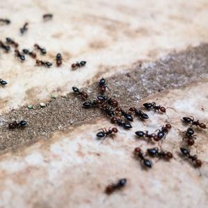 Ants On Stone Floor