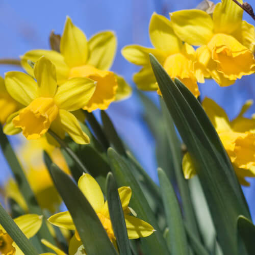 Collection Of Yellow Daffodils