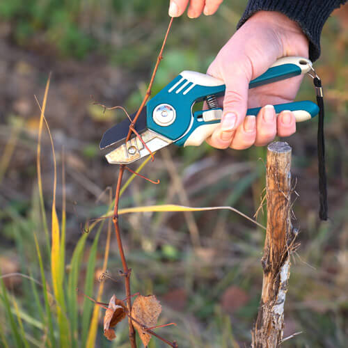 Autumn Gardener Trimming A Dead Branch With Secateurs