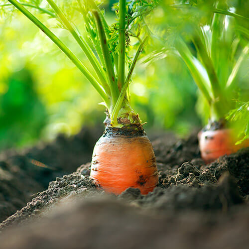 Carrots Growing In Ground