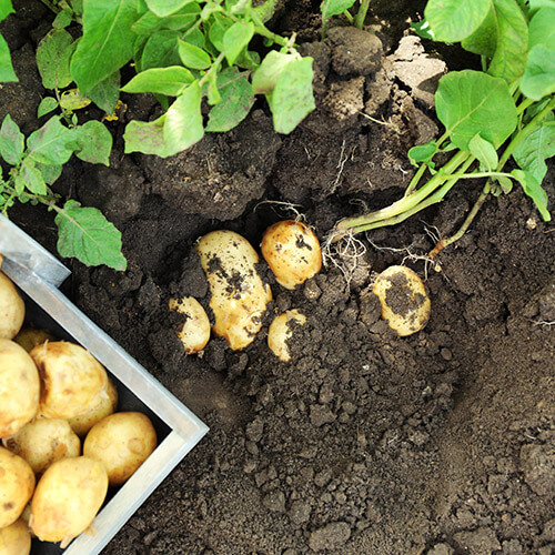 Potatoes Growing In Ground