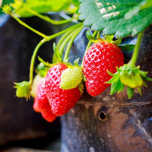 Strawberries Growing In Pot
