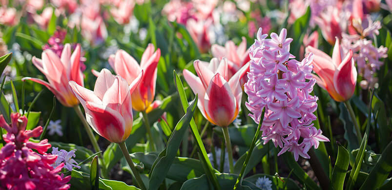 Tulips And Hyacinths In Garden