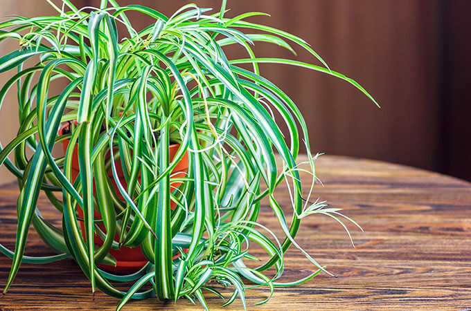 Spider Plant In Home