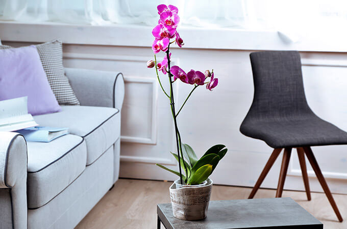 Lilac Orchid In Pot On Table
