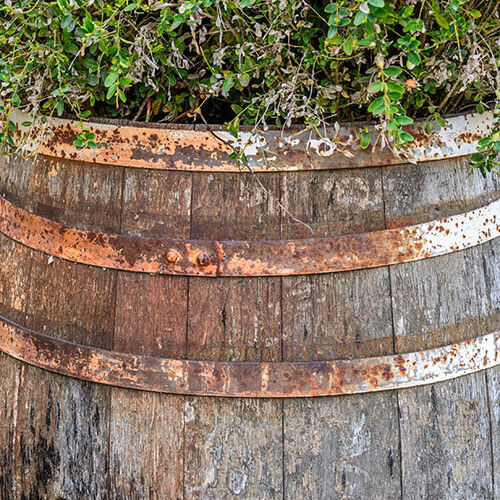 Rusty Barrel Containing Plant