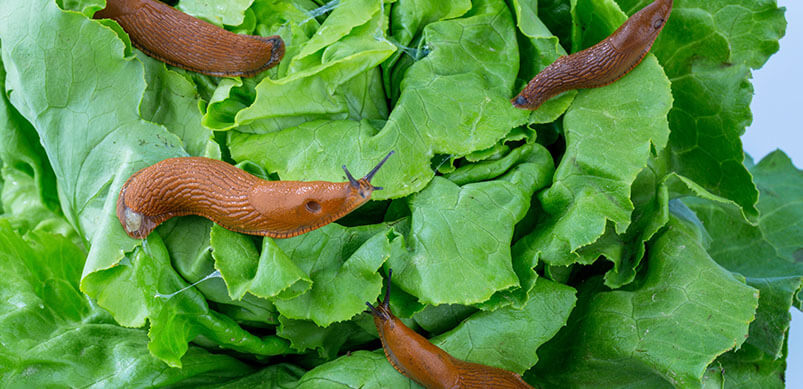 Slugs Crawling On Green Leaves