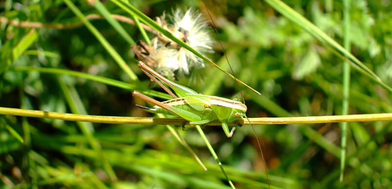 Grasshopper on Green Leaves