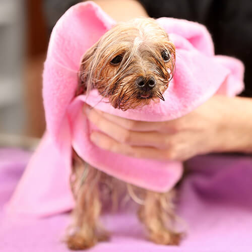 Dog Being Dried With Towel