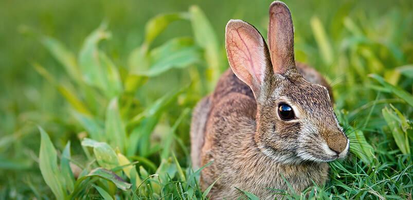 Rabbit Eating Grass In Garden
