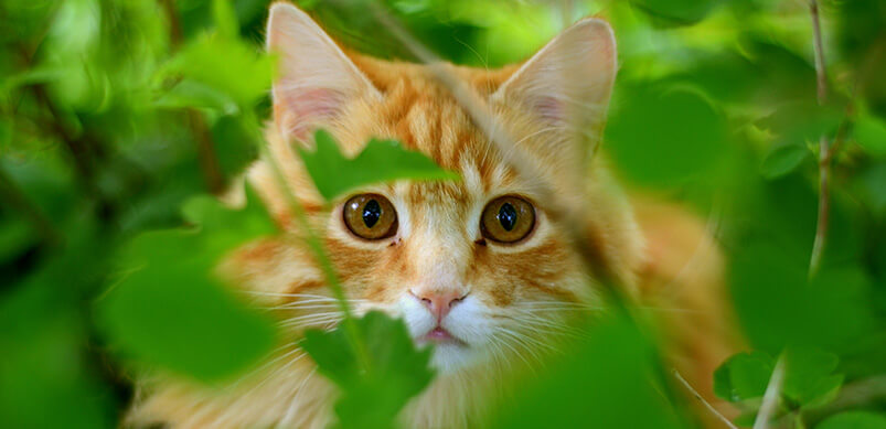 Ginger Cat Hiding in Garden Bushes