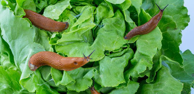 Slugs On Green Plants