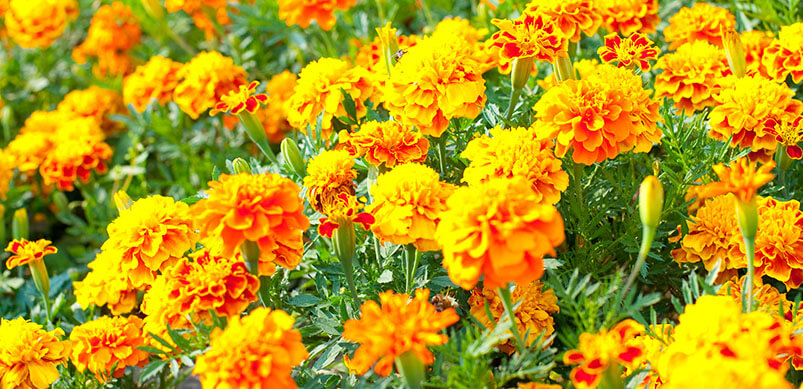 Yellow French Marigolds In The Sun
