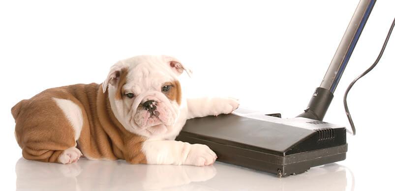 English Bulldog Sitting Beside Vacuum