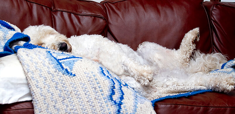 Dog Lying On Blanket On Sofa
