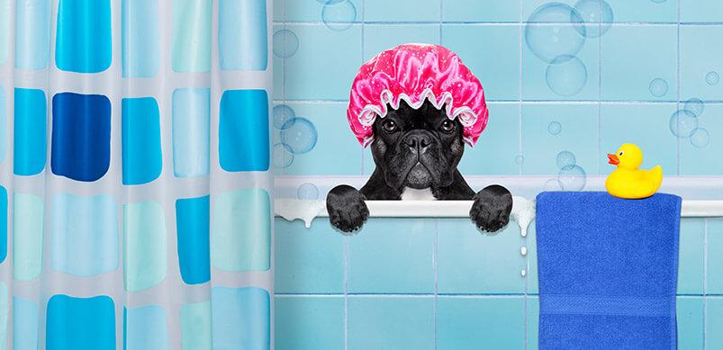 French Bulldog Wearing Shower Cap In Bath