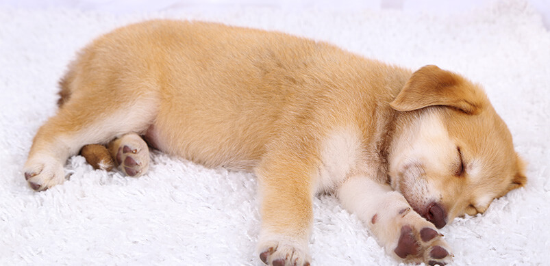 Puppy Lying On White Carpet