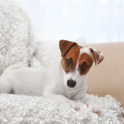 Jack Russel Terrier Lying On Sofa