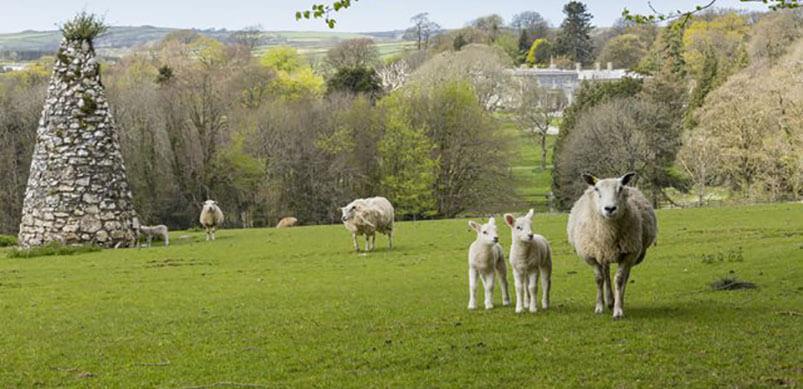 Baby Lambs At Arlington Court