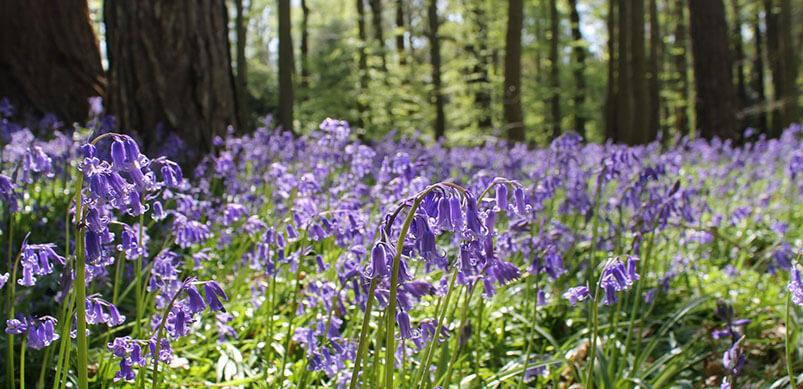 Bluebells At Cliveden Buckinghamshire