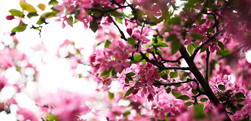 Close Up Of Pink Blossom Tree