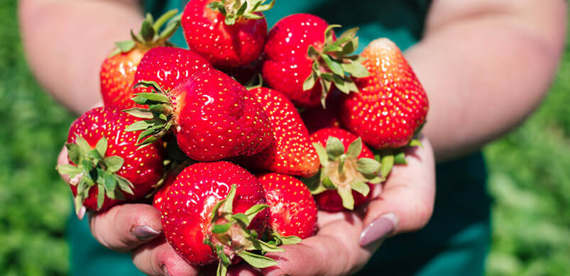 Closeup Of Fresh Strawberries In Womans Hand