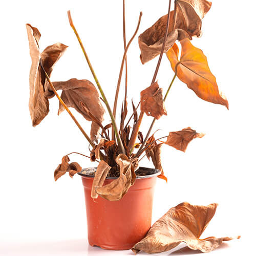 Brown And Crunchy Leaves On Plant