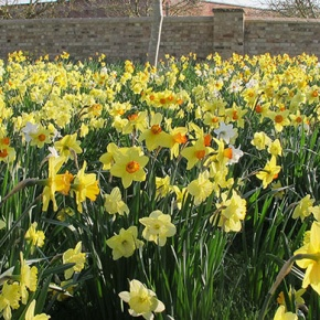 Daffodils At Wimpole Gardens