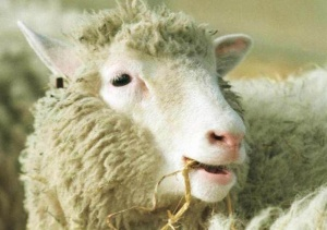 Image Of Dolly The Sheep