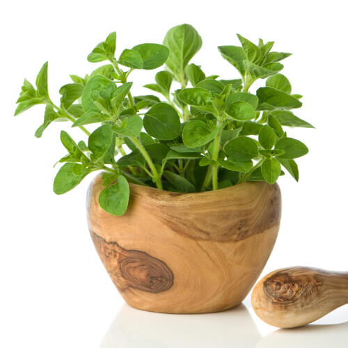 Oregano Growing In Pot