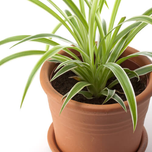 Dracaena In Pot