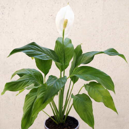 Peace Lily In Home