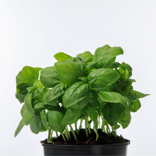Basil Growing From Pot