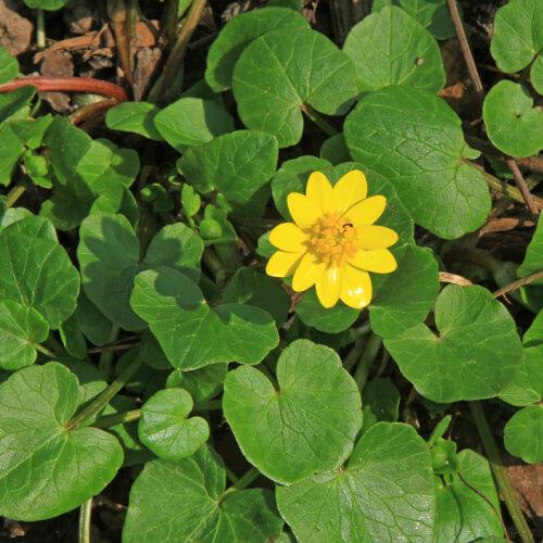 Lesser Celandine In Green Bush
