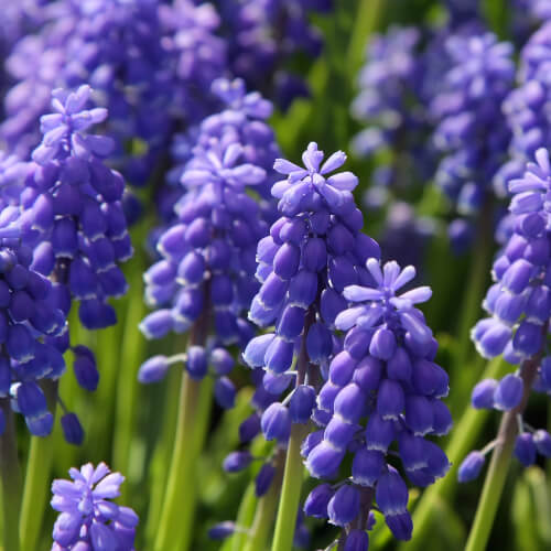 Bluebell In Long Grass