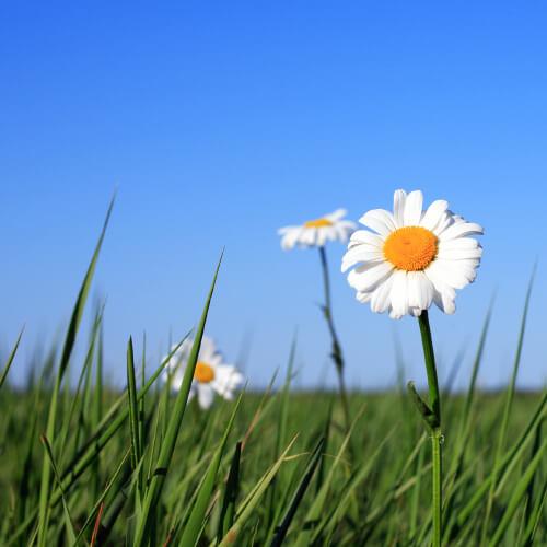 Oxeye Daisy In Field