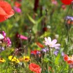 How to celebrate National Wildflower Week