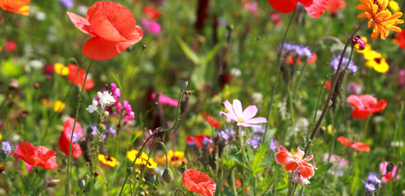 Colourful Wildflower Outdoors