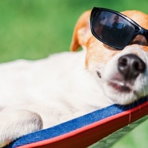 Dog With Sunglasses In Hammock
