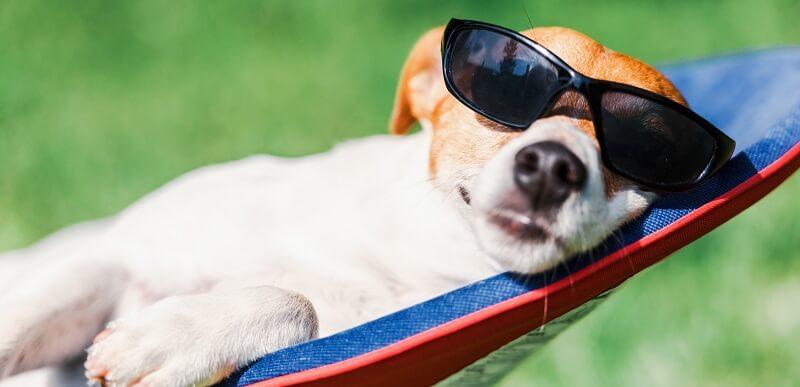 Dog With Sunglasses In Hammock