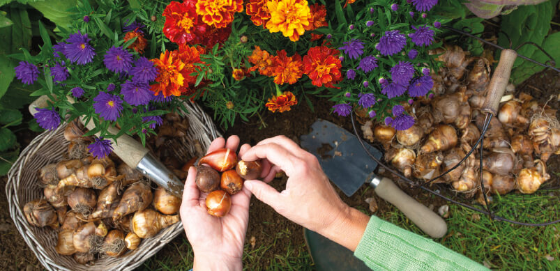 Person Planting Flower Bulbs In Autumn