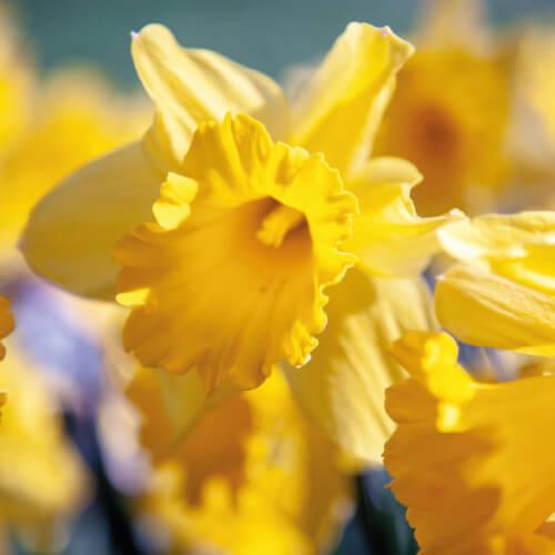 Blooming Yellow Daffodil In Spring