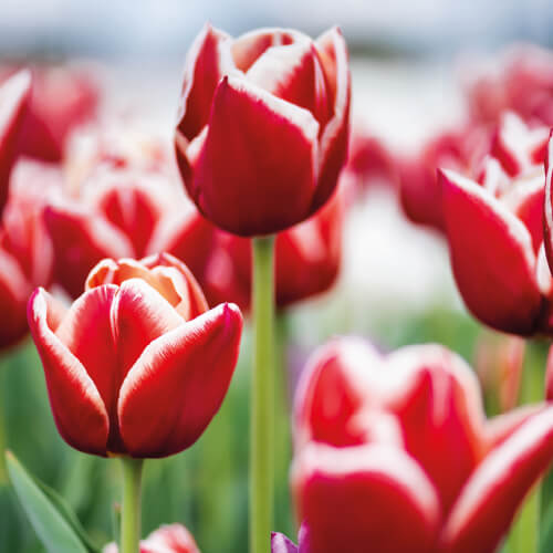 Close Up On Pink Tulips