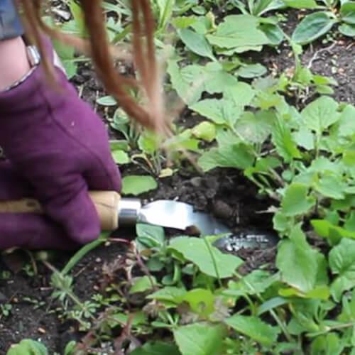 Tongue Weeder Being Used On Weeds