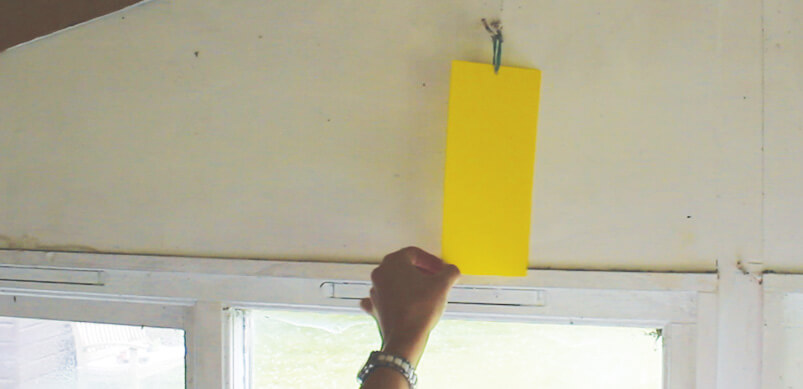 Green Protect Yellow Insect Trap Hanging