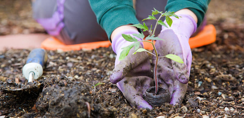 Gloved Hands Placing Plant